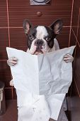 stock photo of poo  - French bulldog sitting on toilet and reading newspaper - JPG