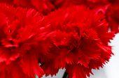 Red carnations, macro, sweet william