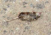 stock photo of dead mouse  - Dead mouse with small injury lying on its back on concrete - JPG