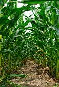 pic of corn stalk  - Close up view of corn stalks that form a green tunnel - JPG
