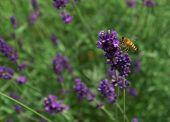Wasp pollinating Lavender
