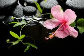 Beautiful Spa Setting Of Delicate Pink Hibiscus, Green Tendril Passionflower And Zen Stones With Dro