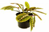 Maranta houseplant on a white background. For your commercial and editorial use.