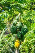 foto of papaya  - Green and yellow papayas growing on a papaya palm tree - JPG