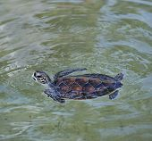 The Young Sea Turtle Swimming