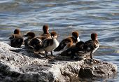 stock photo of baby duck  - Photo of baby Merganser ducks sitting on a rock in the sun - JPG