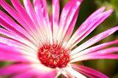 Daisy Flower Blossom As Close Up