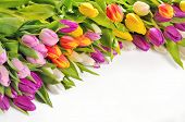 Colorful Tulips Flowers Isolated On White Background
