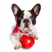 Cute french bulldog with a red heart isolated on white