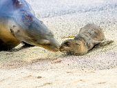 foto of sea lion  - baby sea lion with mother in san cristobal galapagos islands ecuador - JPG