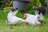 pic of bantams  - Two white chickens on green grass - JPG