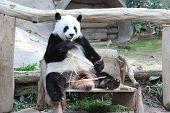 Giant Panda, Named Lin Hui, In Chiangmai Zoo, Thailand