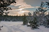 Rays of the setting sun in the snow-bound pine forest