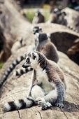 Humorous Ring-tailed Lemur (lemur Catta)