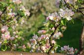 tree blossom flowers