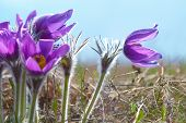 Flowers Pasqueflower (pulsatilla Patens)