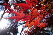 Autumn Red Maple Leaves
