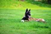 Dog Belgian Malinois