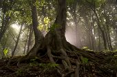 Old giant tree with big twisted roots in enchanted magical forest with sun rays and fog