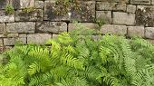 Fern in front of old stone wall.