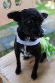 foto of mongrel dog  - mongrel black dog wearing green cloth sitting on wooden chair  - JPG