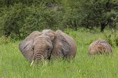 Mother And Baby African Elephants Walking In Savannah In The Tarangire National Park, Tanzania