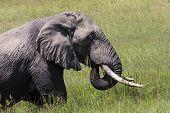 foto of sub-saharan  - Huge African elephant bull in the Tarangire National Park Tanzania  - JPG