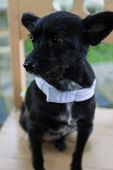 stock photo of mongrel dog  - mongrel black dog wearing green cloth sitting on wooden chair  - JPG