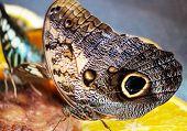 Caligo Memnon Butterfly