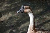 Natatorial goose