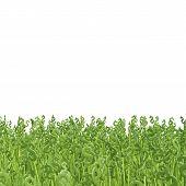 Green Dollar Grass