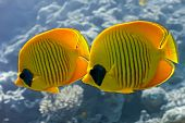 picture of coral reefs  - Butterflyfish on the coral reef in the red sea - JPG