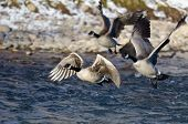 Flock Of Canada Geese Taking Off From A Winter River