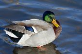 stock photo of male mallard  - Male Mallard Duck Resting on the Water - JPG