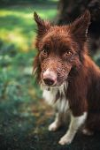 Red Border Collie Dog, Portrait Close