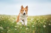picture of collie  - Red border collie dog running in a meadow summer - JPG