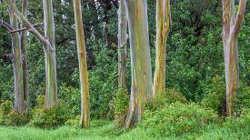 pic of eucalyptus trees  - Grove of Rainbow Trees on the island of Maui - JPG