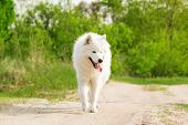 foto of mammal  - Samoyed dog running on green background  outdoor - JPG