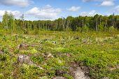 picture of deforestation  - Woods logging  stump after deforestation hack woods - JPG