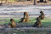 foto of anubis  - family of Chacma Baboon  - JPG
