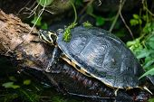 picture of exoskeleton  - A yellow bellied slider terrapin at Pili Palas Nature World - JPG