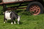 pic of pygmy goat  - Black and white pygmy goat in a farm setting - JPG