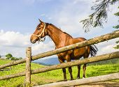 foto of harness  - Bay horse with a harness on his head in a paddock made of fir trunks against the backdrop of the mountains - JPG