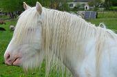 pic of irish  - Irish Cob in the pasture - JPG