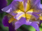image of purple iris  - Inside a Purple Iris with Zebra Stripes - JPG