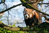 stock photo of zoo  - A red panda eating leaves in a tree at a zoo in England a zoo in England - JPG