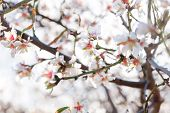 picture of gozo  - Blossoming of cherry flowers in spring time with green leaves natural floral seasonal background. Malta Gozo island.