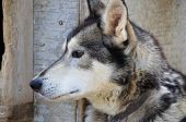 picture of sled-dog  - Close - JPG