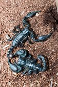 stock photo of scorpion  - the big black Scorpion on the ground - JPG