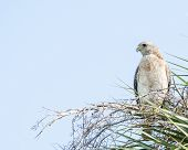 picture of hawk  - Red-shouldered Hawk perched on a tree branch.